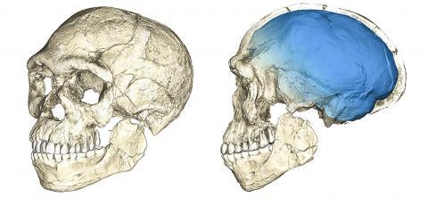 30만년 전 초기의 호모 사피엔스는 현대인과 유사한 얼굴 모습을 가지고 있다. 청색의 두개골은 호모 사피엔스 혈통 내에서 뇌 형태와 뇌 기능이 진화돼 왔음을 나타낸다. Credit: Philipp Gunz, MPI EVA Leipzig (License: CC-BY-SA 2.0).