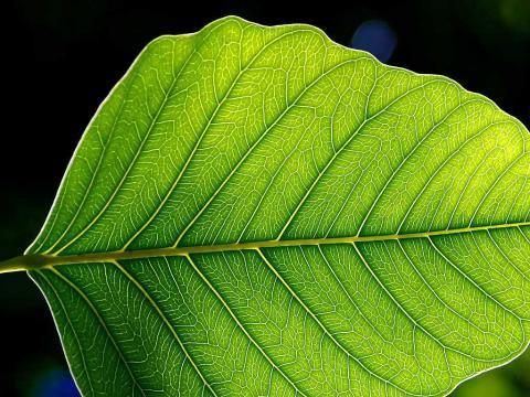 로잔 공대 과학자들이 식물 엽록소에서 하고 있는 광합성 작용을 모방해 새로운 신재생에너지를 만들 수 있는 고효율 촉매 개발에 성공했다.  ⓒWikipedia