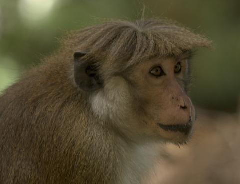 원숭이의 사람 얼굴을 식별할 수 있는 능력이 매우 뛰어나다는 사실이 최근 뇌과학자들에 의해 밝혀졌다. 사진은 뇌 기능을 분석한 짦은꼬리원숭이. ⓒWikipedia