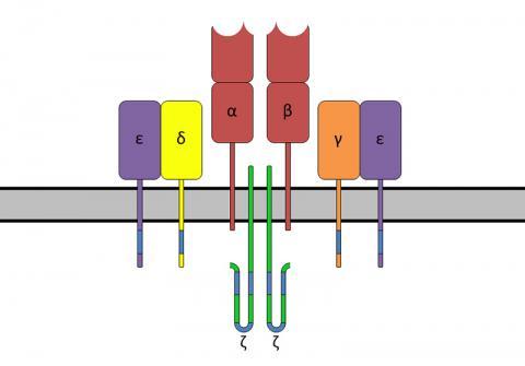 TCR-α 및 TCR-β 사슬, CD3 및 ζ 사슬 보조 분자를 갖는 T 세포 수용체 복합체. Credit: Wikimedia Commons