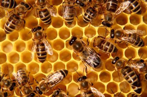 유럽연합이 지난 2년간 영국, 독일, 헝가리 등 3국 33개 농장에서 실시한 살충제 실험에서 세계적으로 가장 널리 사용되고 있는 '네오니코티노이드' 성분이 꿀벌 떼죽음에 영향을 미치고 있다는 사실이 확인됐다.  ⓒcoloradobeekeepers.org