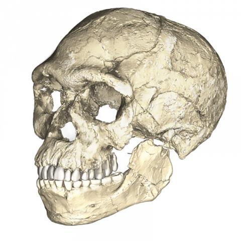 모로코 제벨 이루드에서 처음으로 발견된 30만년 전의 여러 호모 사피엔스 화석에 대한 미세 전산단층촬영 자료를 기반으로 복합 재구성한 두개골 모습. . Credit: Philipp Gunz, MPI EVA Leipzig (License: CC-BY-SA 2.0).