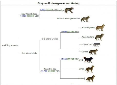 돌연변이율을 추정해 만든 개의 발생 계통도. 개는 유전적으로 회색 늑대의 아종으로서 늑대와 개가 계통상 차이가 있듯이 개들 사이에도 실질적인 계통상 차이가 있다.  Credit : Wikimedia Commons
