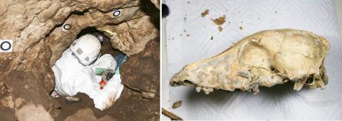 고고학자가 독일의 프랑코니아 지방 키르쉬바움 동굴(체리나무 동굴, CTC)에 들어가 작업하는 모습. 이 동굴에서 5000년 된 후기 신석기 시대 CTC 개 두개골(오른쪽)이 발견됐다. 연구팀은 이 두개골 전유전체의 염기서열을 분석했다.  Credit : Timo Seregely / Amelie Scheu