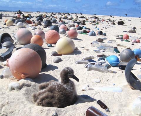 최초로 실시된 남태평양 플라스틱 쓰레기 탐사에서 남한 면적의 25배에 달하는 플라스틱 쓰레기 뗏목이 바다를 떠다니는 것으로 확인됐다. 사진은 플라스틱 쓰레기에 둘러사여 있는 알바트로스 새끼의 모습.   ⓒNOAA