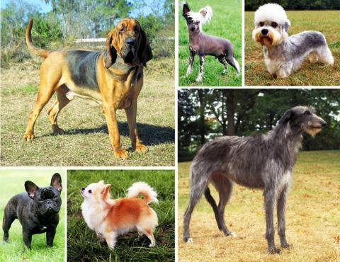개는 인간의 손길이 닿으면서 형태상 수많은 종류가 생겨났다.   Credit : Wikimedia Commons / Mary Bloom, American Kennel Club