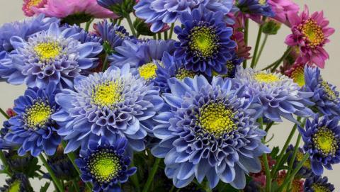 일본 국립 농업식품연구소에서 국화에 다른 식물 유전자를 2개 주입해 트루 블루 색깔의 국화꽃을 피우는데 성공했다.  불가능한 것으로 여겨졌던 트루 블루 색상의 꽁을 피우는데 성공함에 따라 화훼, 원예 산업 등에 큰 파급효과를 미칠 것으로 전망된다. ⓒNaonobu Noda/NARO