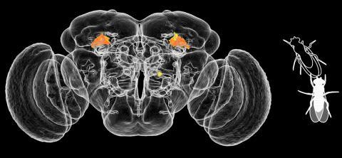 암컷 초파리 뇌의 중심부에 있는 두 개의 작은 지역(빨간색)이 공격적인 역할을 한다.  Credit: Robie et al./Cell 2017