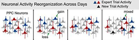 시간이 지나면서 쥐의 뉴런 활동이 재조직화되는 모습.  Credit: 'Cell' (17-08-2017).  http://dx.doi.org/10.1016/j.cell.2017.07.021