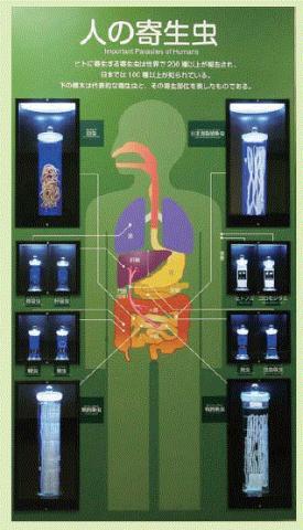 일본 메구로 박물관의 기생충 전시품. ⓒhttp://www.kiseichu.org/exhibition