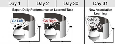 실험용 쥐가 신호를 인식하고 미로를 달라게 하는 실험 모형.   Credit: 'Cell' (17-08-2017).  http://dx.doi.org/10.1016/j.cell.2017.07.021