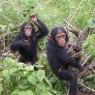 침팬지도 알츠하이머에 걸릴 수 있다?