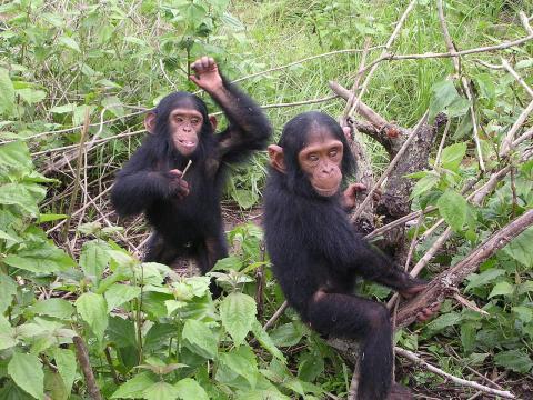 침팬지 뇌 속에 사람처럼 알츠하이머를 유발할 수 있는 단백질, 병리조직이 발견됐다는 연구결과가 발표되면서 사람과 침팬지가 같은 조상으로부터 나왔는지를 놓고 벌어지고 있는 인류기원설 논쟁이 다시 전개되고 있다.   ⓒWikipedia