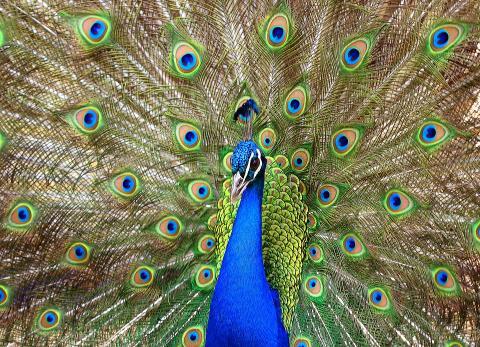 공작의 아름다운 꼬리 색깔 ⓒPixabay