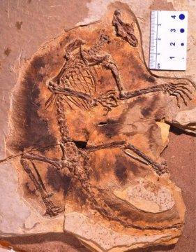 날개 달린 포유류 ⓒ Zhe-Xi Luo/UChicago