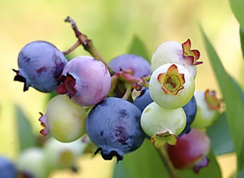 블루베리에는 플라보노이드에 속하는 안토시아니딘이 많다.  Credit : Wikimedia Commons