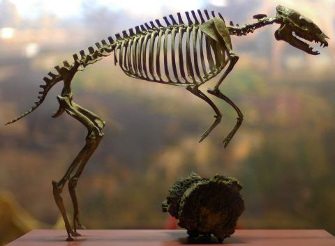 미국 자연사박물관에 전시 중인 5500만년 전 말의 조상 ' '히라코테리움(Hyracotherium)'. 최초의 말은 개처럼 작았고, 앞발에는 3개, 뒷발에는 4개의 발가락이 있었으나 숲에서 초원으로 서식지를 옮기면서 지금의 강한 말발굽으로 변신했다는 사실이 3D 스캐닝 분석으로 확인되고 있다.