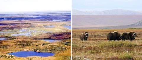 시베리아 툰드라 지역(왼쪽)과 알래스카 툰드라지역에 사는 사향소 무리 Credit : Wikimedia Commons