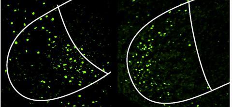 암컷 쥐의 두뇌 이미지. 쥐가 싸우거나(왼쪽) 짝짓기를 할 때(오른쪽) 서로 다른 세포들(녹색)들이 복내측 시상하부의 복측면 부위에서 활성화되는 모습을 보여준다.  Credit: Courtesy of Nature Neuroscience