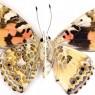 유전자가위로 나비 날개 그리다