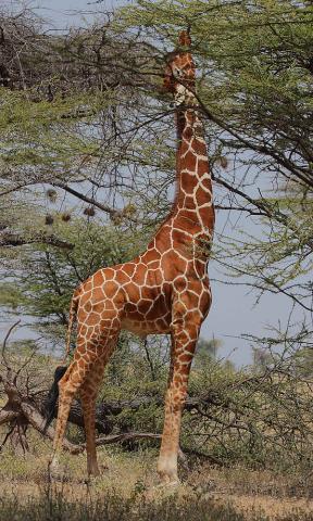 기린은 2m가 넘는 긴 목 덕분에 다른 발굽동물들은 엄두도 못내는 4.5m 높이에 달린 나뭇잎도 따먹을 수 있다. 기린이 긴 목이 진화한 원인은 여전히 논란이 되고 있는데, 최근 고온건조한 기후에서 직사광선을 최대한 피해 효율적으로 체온조절을 하기 위해서라는 주장이 나왔다. ⓒ 위키피디아