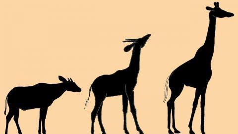 1949년 영국 언론인 채프먼 핀처는 기린의 목이 길어진 건 긴 앞다리에도 물을 먹을 수 있게 하기 위함이고 주장했다. 그러나 700만 년 전 기린의 조상 사모테리움 메이저(가운데)의 화석을 보면 앞다리는 이미 길어졌음에도 목 길이는 기린(오른쪽)의 절반인 1m였다. 왼쪽은 기린과 가장 가까운 현생 동물인 오카피로 목 길이는 60cm에 불과하다.  ⓒ Nikos Solounias