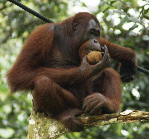 원숭이, 침팬지, 오랑우탄 등 유인원의 지능이 어느 정도인지 알아내려는 연구 방식에 문제가 있다는 주장이 제기됐다. 객관적이지 않은 사람 우선의 연구가 진행되고 있다는 것.  ⓒWikipedia
