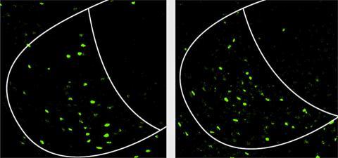 수컷 쥐의 뇌는 싸우거나(왼쪽) 짝짓기를 할 때 복내측 시상하부의 복측면 부위의 같은 세포들이 활성화된다(녹색). Credit: Courtesy of Nature Neuroscience