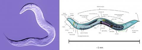 왼쪽은 자웅동체의 예쁜꼬마선충 모습. 오른쪽은 성충 단계에 있는 '예쁜 꼬마선충' 해부도. 이 선형동물은 흙 속에서 박테리아를 먹이로 해서 살며, 세포 연구를 위한 실험모델로 많이 쓰인다. 성별이 암수동체와 수컷 두 종류다.  Credit : Wikimedia Commons / Bob Goldstein, UNC Chapel Hill / KDS444