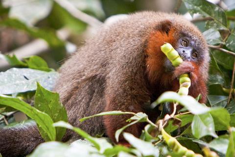 이번 연구에 활용된 구리빛 티티 원숭이. 일부일처제를 유지하고 있는 대표적 영장류다.  Credit : Wikimedia Commons / Davidwfx