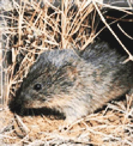 배우자 결합 연구에 많이 활용되는 대초원 들쥐(prairie voles). 일부일처제를 유지하고 있다.  Credit : Wikimedia Commons / United States National Park Service
