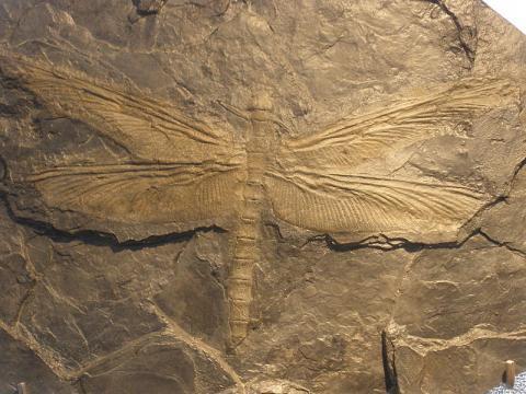 거대잠자리 메가네우라의 화석. ⓒ Free photo