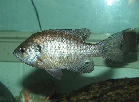 우리 생태계를 위협하는 외래종 물고기 블루길. ⓒ Free photo