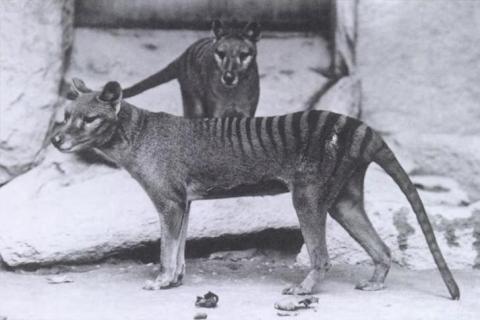 1930년대 멸종된 태즈메이니아 호랑이. ⓒ Free photo