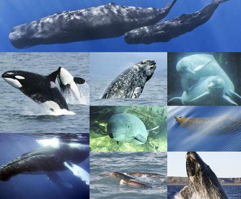 인간 및 영장류와 매우 유사한 문화와 사회를 가지고 있는 고래류 해양동물. Credit: Wikimedia / LittleJerry