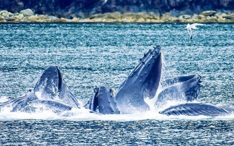 알래스카 링컨 섬과 셸터 섬 사이 노스 패스에서 험프백 고래들이 거품 그물을 만들어 먹이를 잡고 있다.  Credit: Wikimedia / Evadb; Edit by jjron.