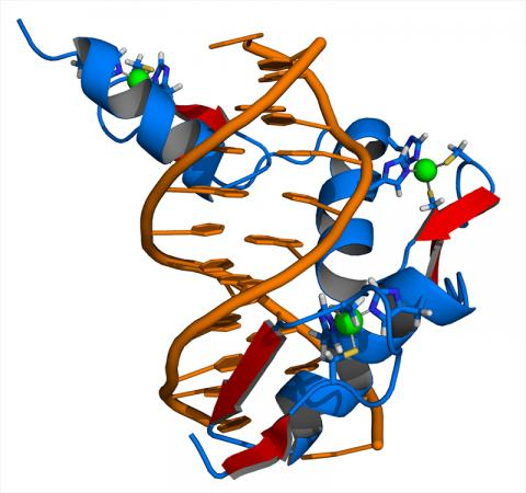 크루펠 계열 전사인자(KLFs)는 유전자 발현을 조절하는 일련의 '징크 핑거 DNA결합 단백질들'이다. 사진은 '징크 핑거 DNA결합 단백질'의 한 예로서 3 개의 징크 핑거 모티프를 포함하는 DNA와 ZIF268 단백질 사이의 복합체를 나타내는 일러스트. ZIF268은 파랑, DNA는 오렌지색, 아연 이온은 녹색으로 표시됐다. Credit : Wikimedia Commons / Thomas Splettstoesser