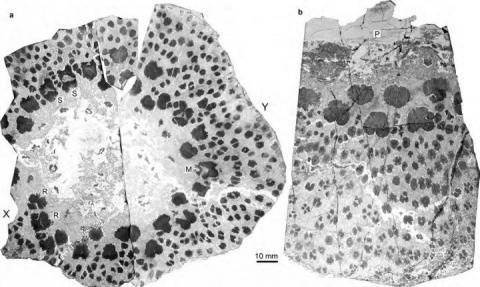 고학자들을 통해 세계 최초의 나무인 '클라독시롭시드(cladoxylopsid)'의 비밀이 밝혀지고 있다. 지금의 나무와는 매우 다른 생체구조로 강력한 생존력을 지녔던 것으로 밝혀지고 있다.  ⓒCHINESE ACADEMY OF SCIENCES HEADQUARTERS