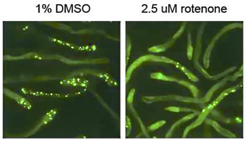신경퇴행성 질환인 헌팅턴병에서 생기는 폴리글루타민 응집체가 발현된 에쁜 꼬마선충을 1% DMSO 용매에 노출시킨 결과 독성 응집체에 해당하는 점액이 나타났다(왼쪽). 이와 대조적으로 광범위 살균제인 저용량(2.5μM)의 로테논으로 처리된 선충들은 미토콘드리아의 전자 전달 사슬이 방해를 받으면서 미토콘드리아 스트레스를 유발해 단백질 응집이 억제됐다(오른쪽). Credit: Richard I. Morimoto