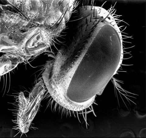 연구팀은 주사 전자현미경을 이용해 파리 몸체에 붙어있는 박테리아 세포와 입자들을 조사했다. 사진은 전자현미경으로 관찰한 검정 파리의 머리 부분.  CREDIT: Ana Junqueira and Stephan Schuster