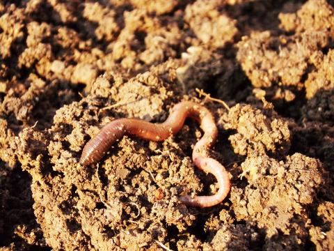 지렁이가 진짜 화성에서 새끼를 낳을까? ⓒ Pixabay