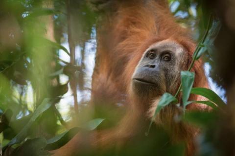 최근 세 번째 오랑우탄 종으로 확인된 타파눌리 오랑우탄의 모습. ⓒ Andrew Walmsley