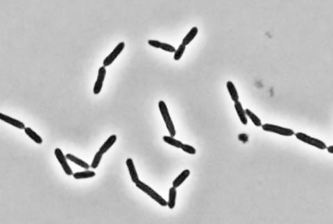 장 박테리아의 하나인 락토바실러스 무리누스(Lactobacillus murinus)를 촬영한 현미경 사진.  Credit: Lisa Maier, EMBL Heidelberg