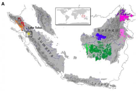 아시아에 사는 대형 유인원인 오랑우탄 세 종의 서식지를 나타낸 지도다. 수마트라 오랑우탄은 수마트라섬 토바호수(Lake Toba) 위쪽에 살고 있고 호수 남쪽에 타파눌리 오랑우탄이 살고 있다(노란색). 보르네오 오랑우탄은 보르네오섬에 폭넓게 분포하고 있는데 세 아종과 서식지에 따라 다른 색으로 표시했다.  ⓒ 커런트 바이올로지