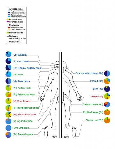 인체 내외부에도 엄청난 수의  미생물이 서식하고 있다. 인체 피부 부위와 그 곳에 서식하는 박테리아들.
