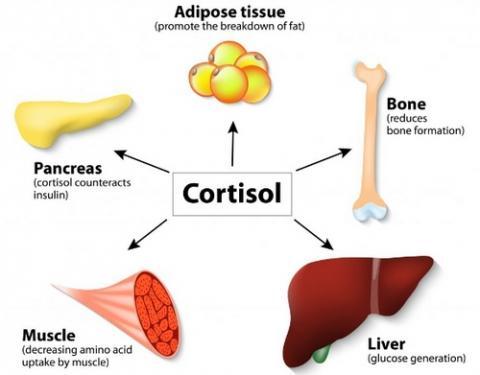 코르티솔 호르몬은 다양한 장기에 영향을 준다 ⓒ ObesityHelp
