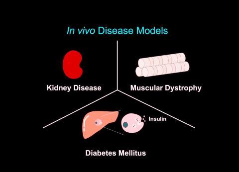 쥐에 대한 실험에서 새 유전자 가위 기술로 급성 신장병과 1형 당뇨, 근위축증이 치료되는 효과를 거뒀다.  CREDIT: Salk Institute