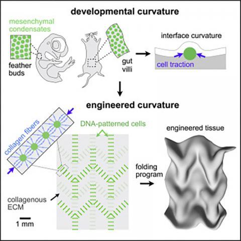 그림으로 본 연구 내용 축약. CREDIT: Developmental Cell