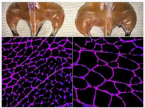 소크연구소 벨몬테 교수팀의 생체 Cas9 기반 후성유전학적 유전자 발현 시스템으로 대조군(왼쪽)에 비해 실험용 쥐의 골격계 근육량이 향상된 모습(위)과 근섬유 크기가 성장한 모습(아래). 아래의 형광 현미경 이미지는 경골 전방 근섬유에서 라미닌 당단백질이 보라색 염색으로 나타나 있는 모습.  CREDIT: Salk Institute