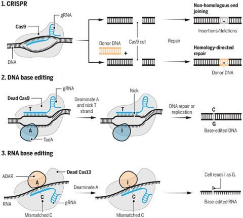 크리스퍼와 염기편집의 작동 메커니즘을 도식화한 그림이다. 1. 크리스퍼 기술에서는 캐스9이 gRNA의 안내를 받아 특정 염기서열을 인식해 이중나선을 풀고 자른다. 그 뒤 세포 내 복구 시스템이 가동되면서 편집이 일어난다. 2. 최근 발표된 DNA염기편집 기술에서는 dCAS9이 특정 염기서열을 인식해 이중나선을 풀면 TadA 효소가 A를 I로 바꿔치기하고 이를 복구하면서 G가 된다. 3. RNA염기편집 기술에서는 dCAS13이 mRNA의 특정 염기서열을 인식해 달라붙으면 ADAR 효소가 A를 I로 바꿔치기하고 리보솜이 이를 번역할 때 G로 인식한다.  ⓒ 사이언스